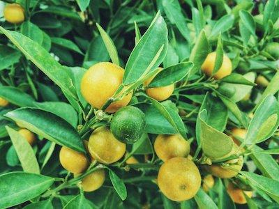 citron jaune et vert sur arbre