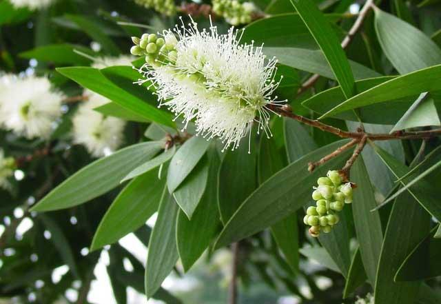 arbre de cajeput pour l'huile essentielle douce