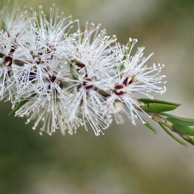 branche de cajeput pour l'aromathérapie