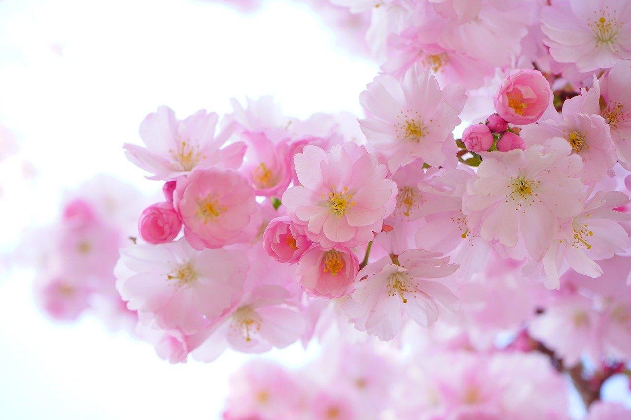 bois de rose pour l'aromathérapie